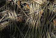 [Photo of Pine Needles]