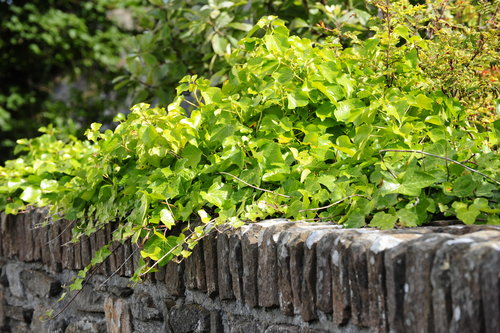 [Stone Wall and Ivy]