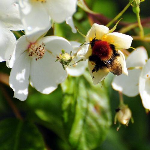 [Bee on Climbing Rose]