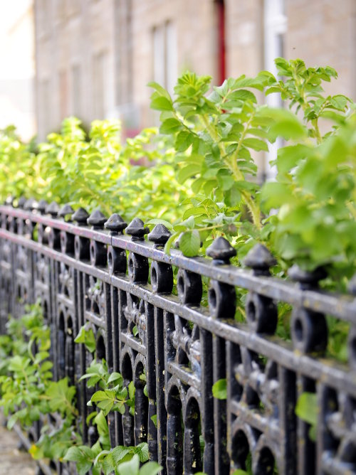 [Iron Fence with Climbing Plants]