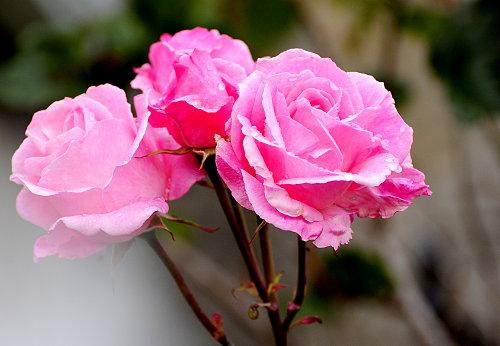 [Beautiful Pink Roses]